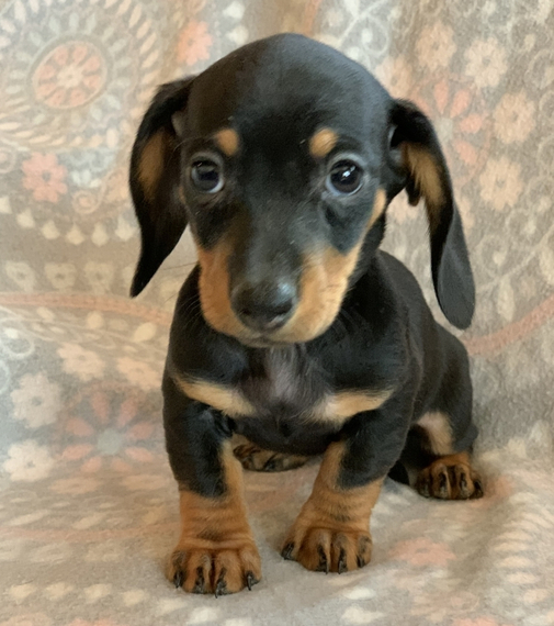 Black and Fawn mini Dachshund Puppies for adoption