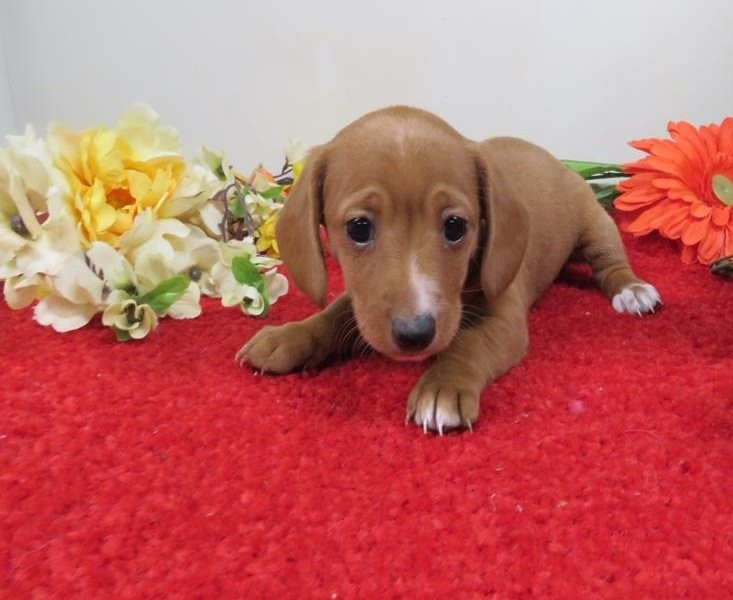 Beautiful male and female Dachshunds puppies.