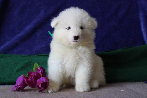 AKC Samoyed pups for sale