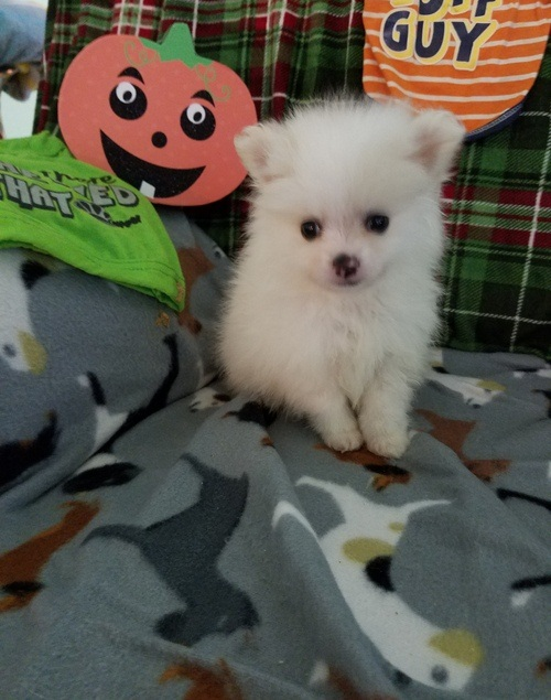 Gorgeous Male and Female pomeranain puppies.