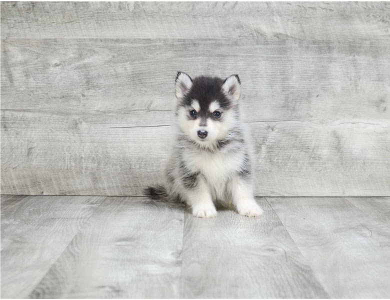 We got two Pomsky puppies