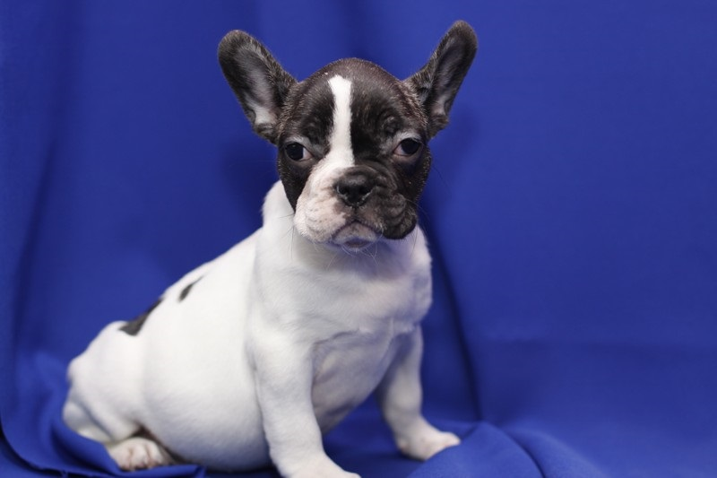 2 French Bulldogs puppies.