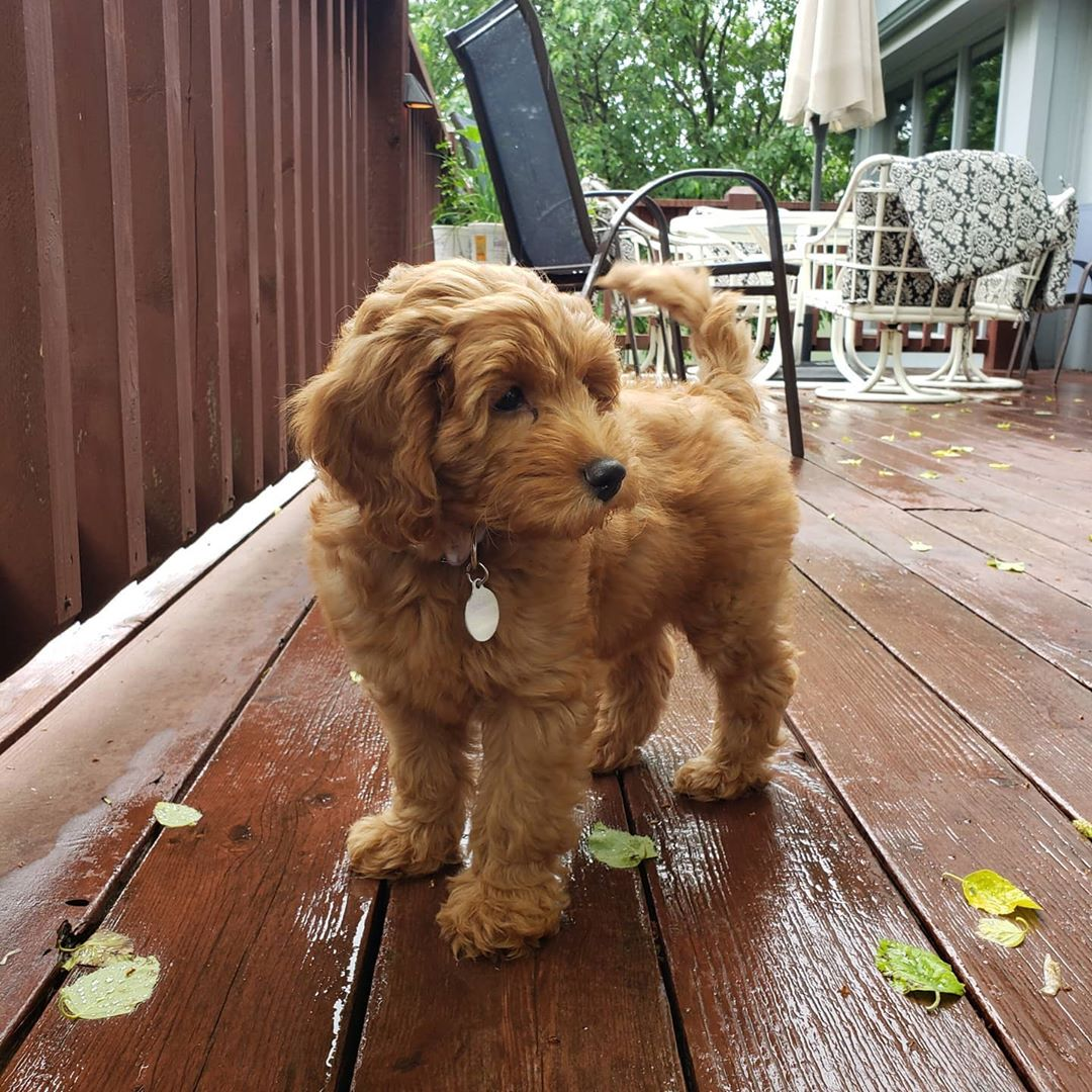 Adorable Cavapoo puppies for new homes.