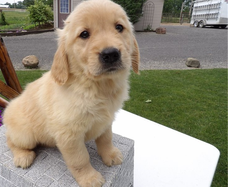 We have male and female Golden Retriever Puppies