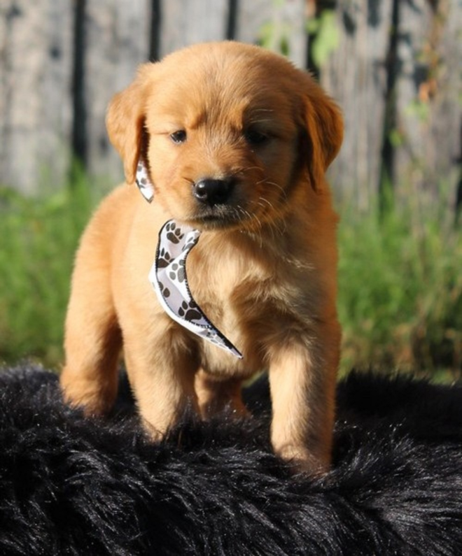 We have male and female Golden Retriever Puppies.