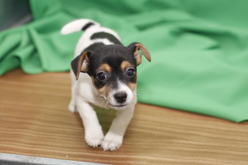 Two Jack Rusell terrier puppies,