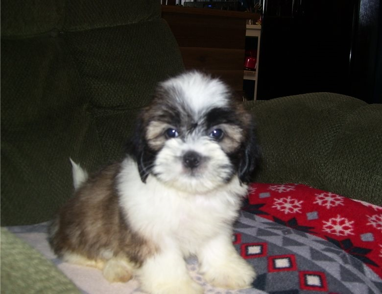 Adorable Male and female Lhasa Apso Puppies.