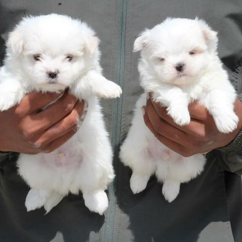 Home Raised And Very Friendly Maltese Puppies