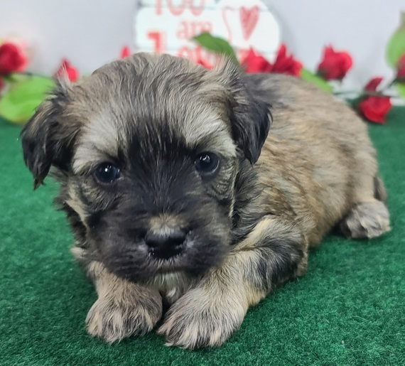 Male and female Maltipoo puppies available