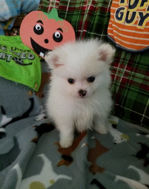 Gorgeous Male and Female pomeranain puppies