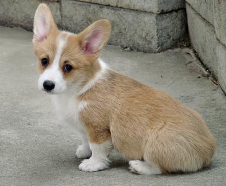 Very Lovely Pembroke Welsh Corgi puppies for Rehoming