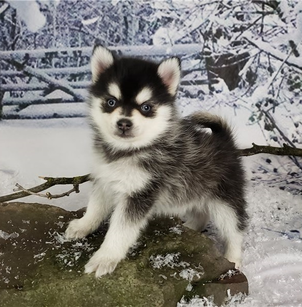 Cute Male and Female Pomsky puppies.