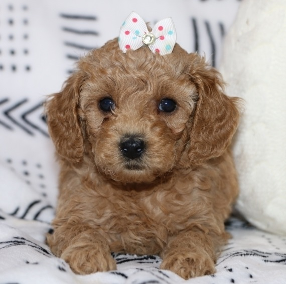 Adorable Toy Poodle puppies,