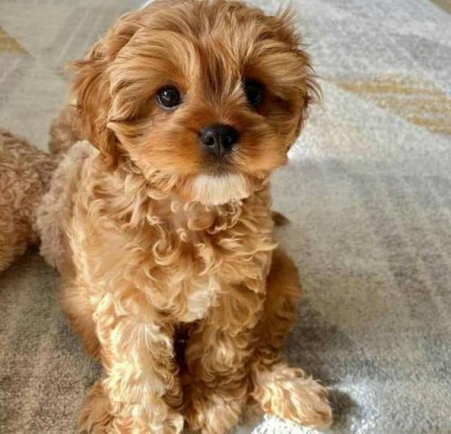 Gorgeous cavoodle puppies Available to their new and loving homes