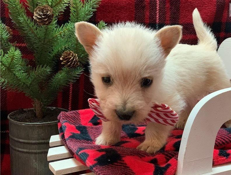 I have a male and female Scottish Terrier puppies