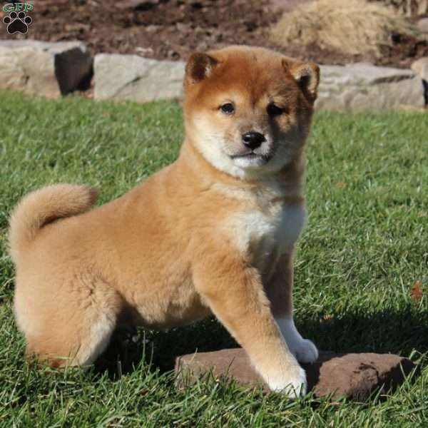 Male and female Shiba Inu puppies for pet lovers