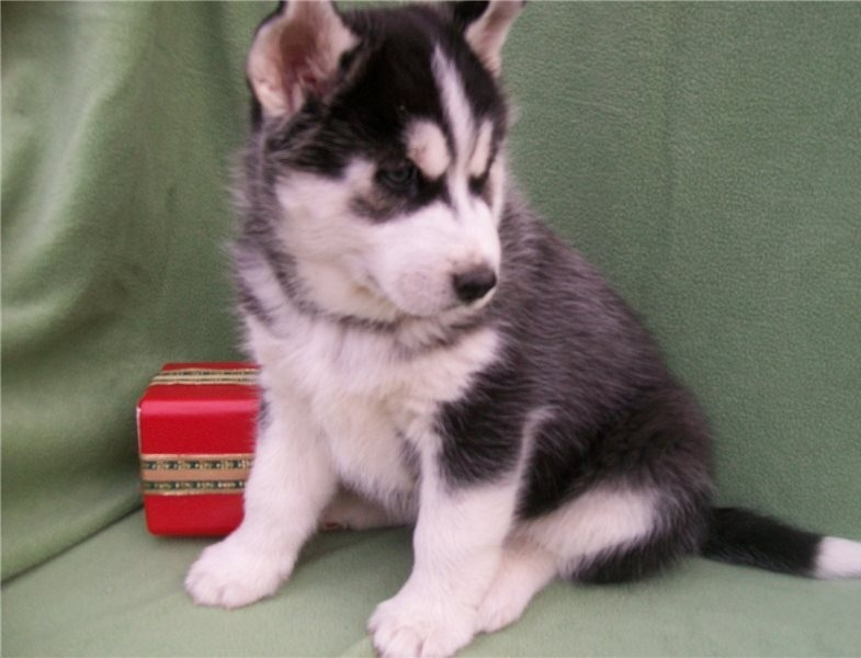 Top quality male and female Siberian Husky puppies.