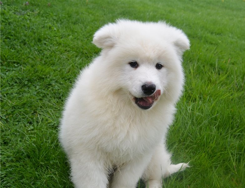 Super adorable Samoyed puppies