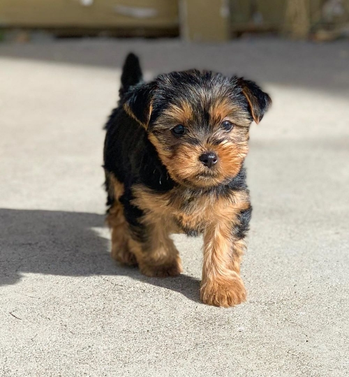 Gorgeous Teacup Yorkie puppies are available for sale