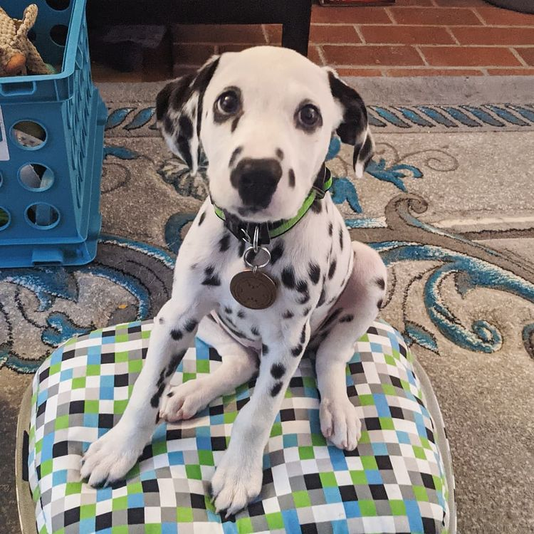 We have a Male and Female Dalmatian beautiful puppies