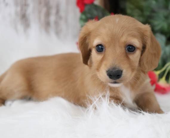 Male and Female Dachshunds puppies