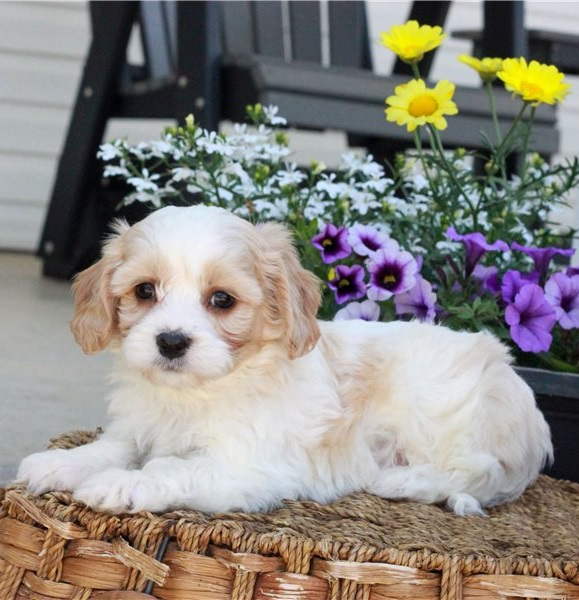 We have a male and female lovable Bernedoodles pups