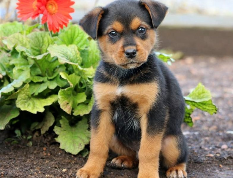 Adorable 1male and 2females Rottwailer Puppies