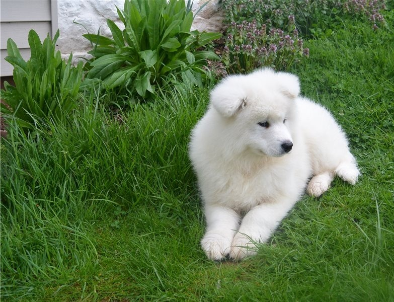 Adorable male and female Samoyed puppies.