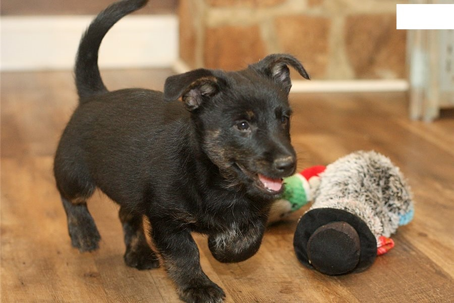 Beautiful Scottish terrier puppies available.